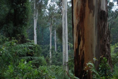 Yalmy forest, East Gippsland
