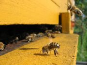 Honeybees entering hive. Author: Björn Appel