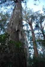 Unprotected old growth Shining Gum at Brown Mountain
